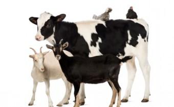 goat milk vs cow milk in taste