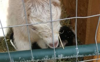 goatbaby316