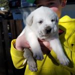 puppies-for-sale-fort-collins